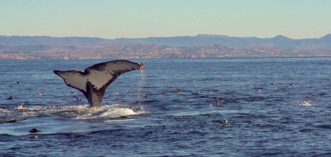Northern Gateway - Humpback Whale