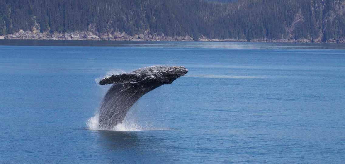 Humpback whale breeching
