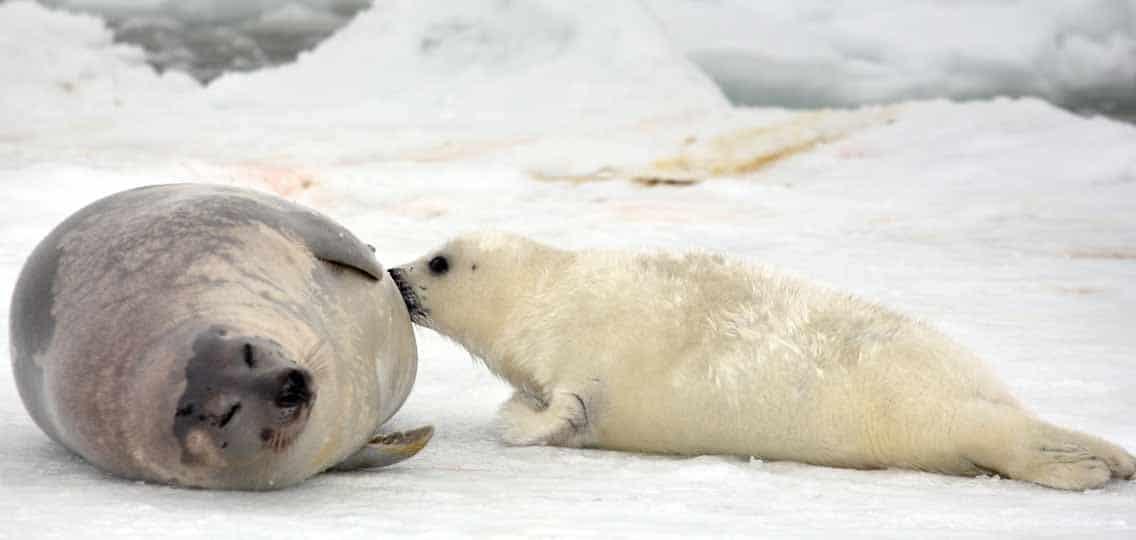 Seals in Arctic