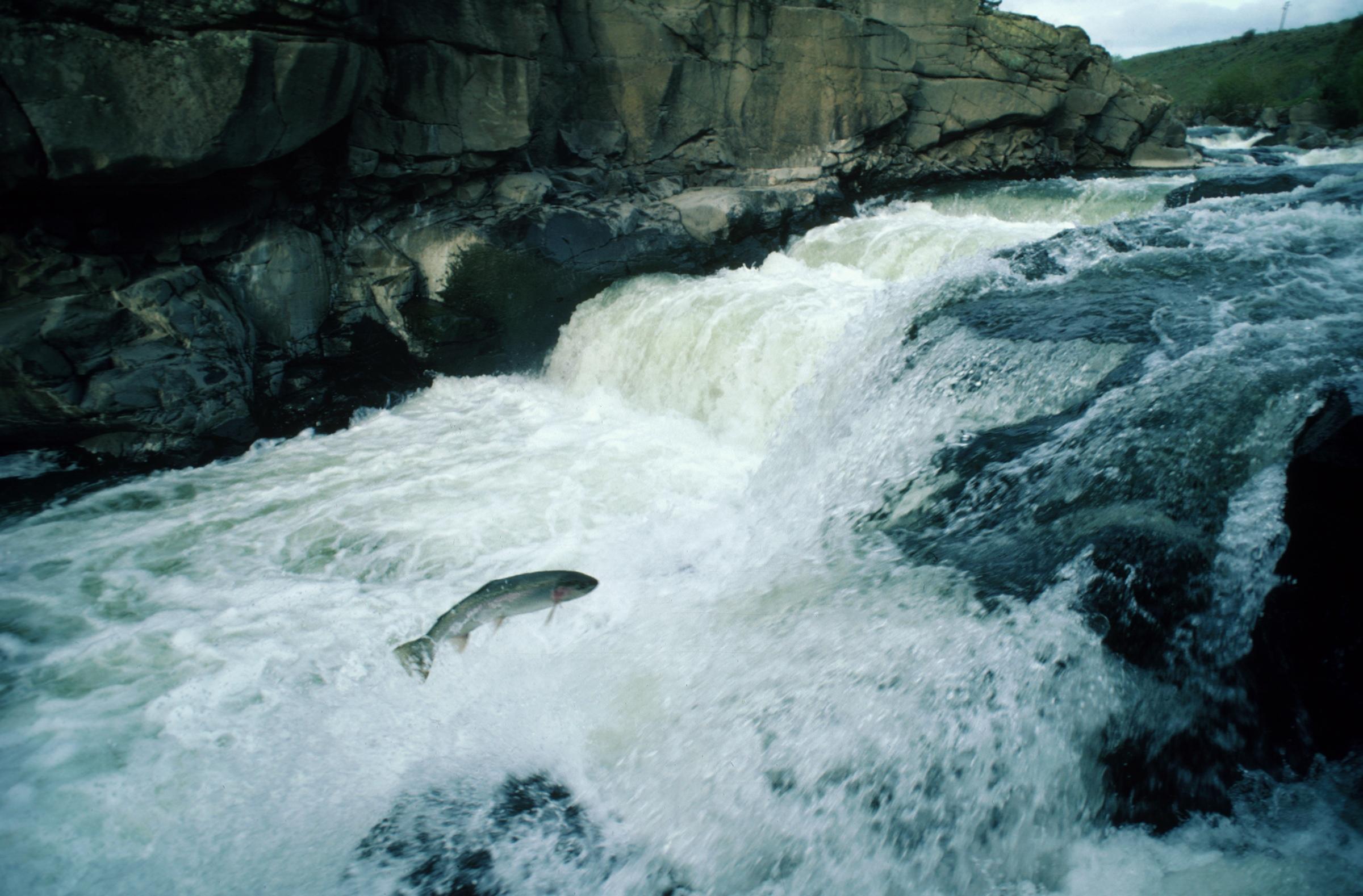 A spawning salmon swims upstream
