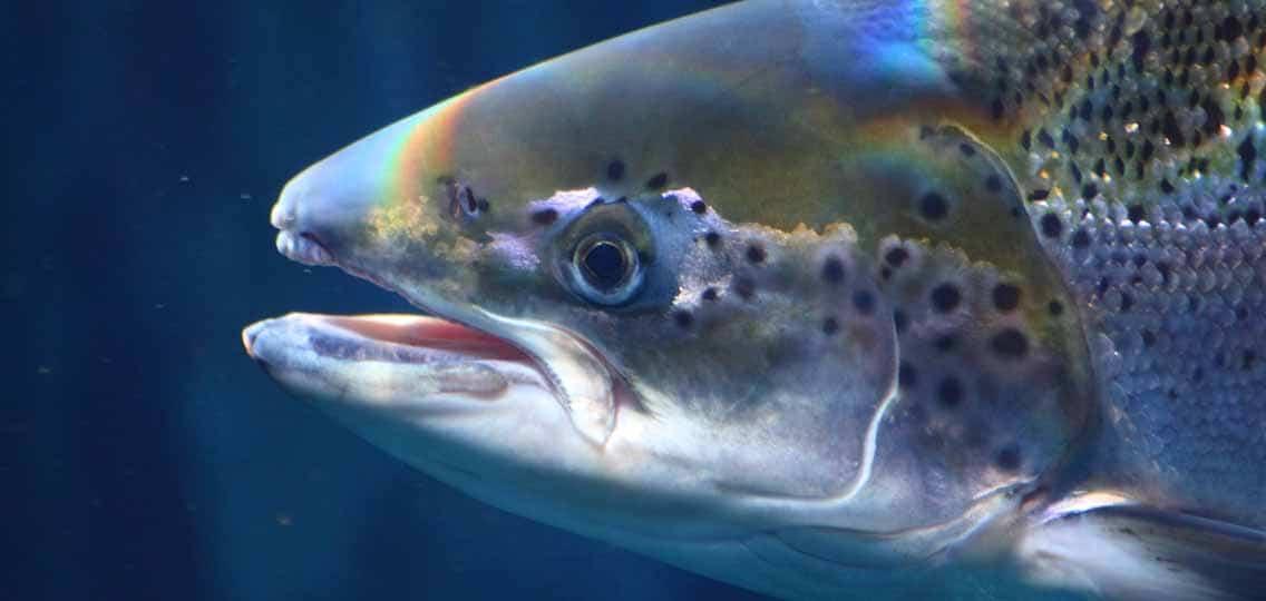 Atlantic salmon Photo by zalgon
