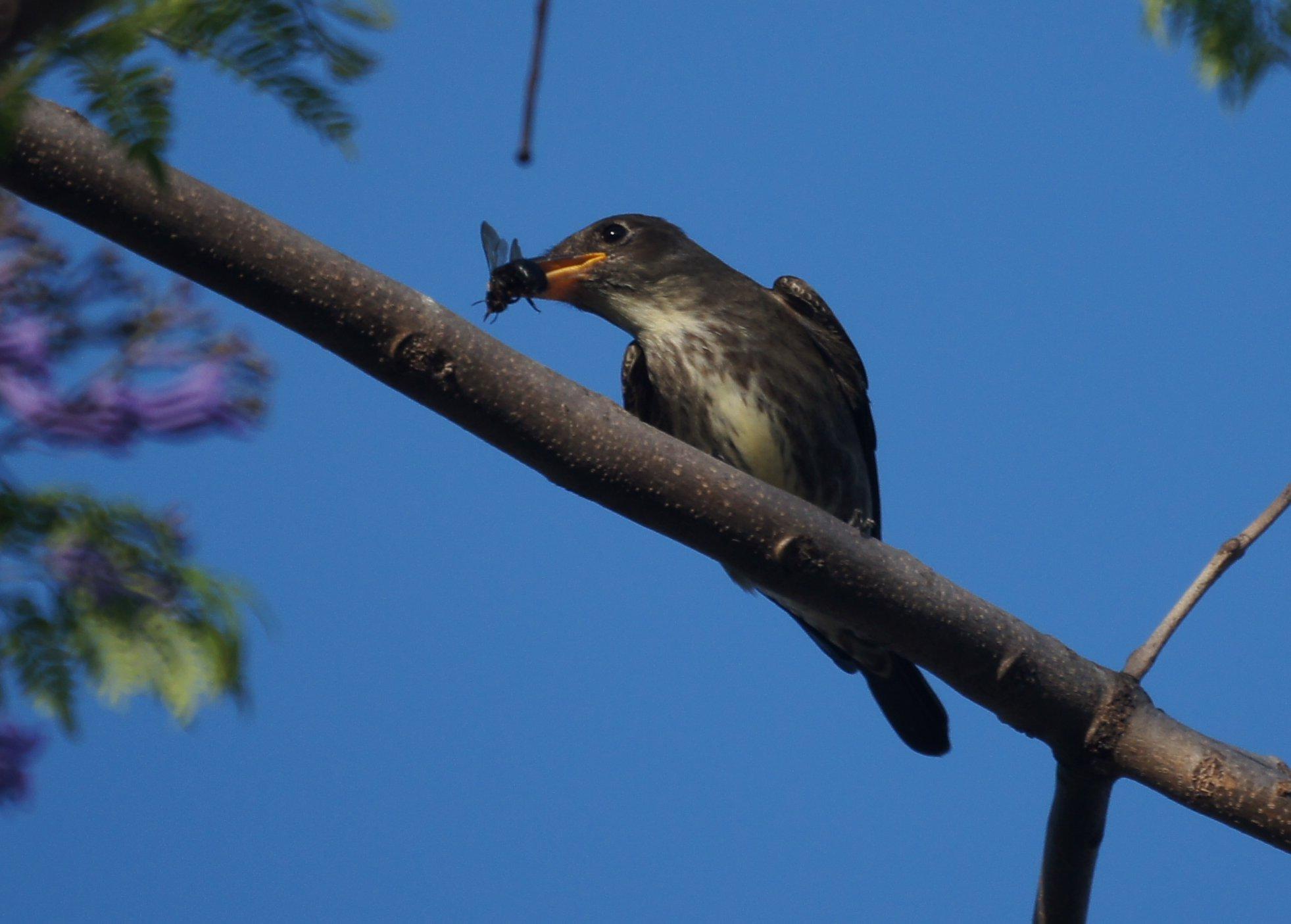 Olive-sided Flycatcher photo by Mike's birds