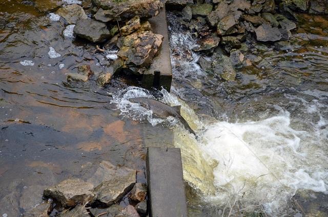 Protecting wild salmon from piscine reovirus ecojustice for Piscine reovirus