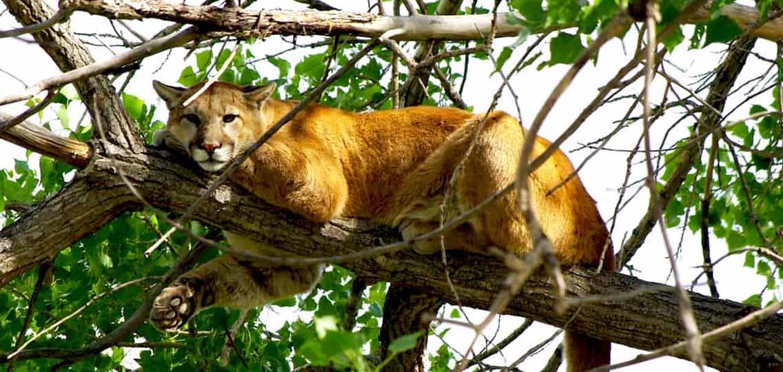 mountain lion lounging on tree branchmountain lion lounging on tree branch