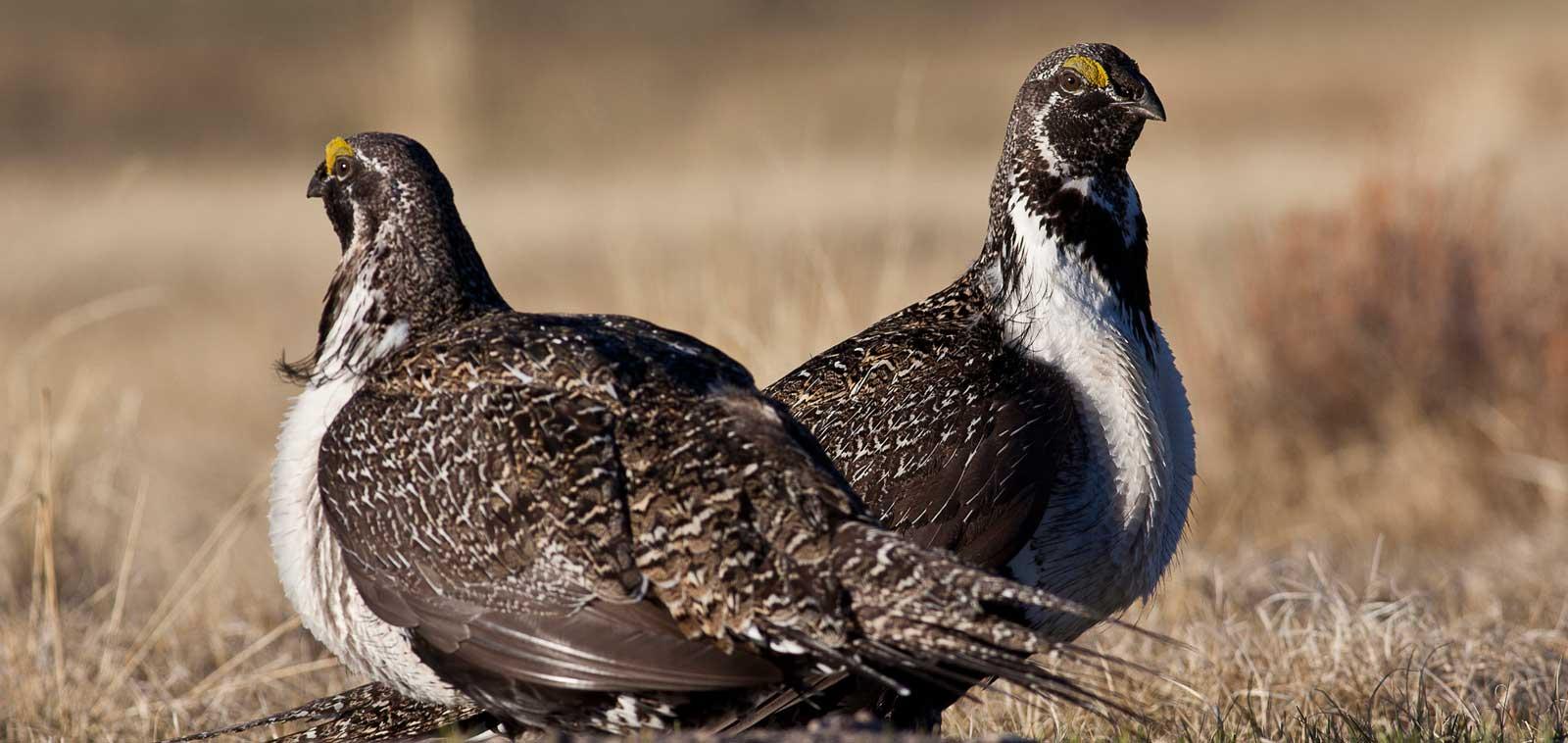 Sage-grouse photo by Bureau of Land Management California via Flickr
