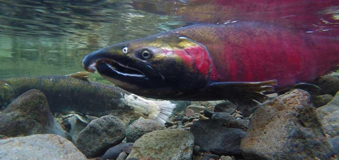 Coho spawning by Bureau of Land Management, via Flickr