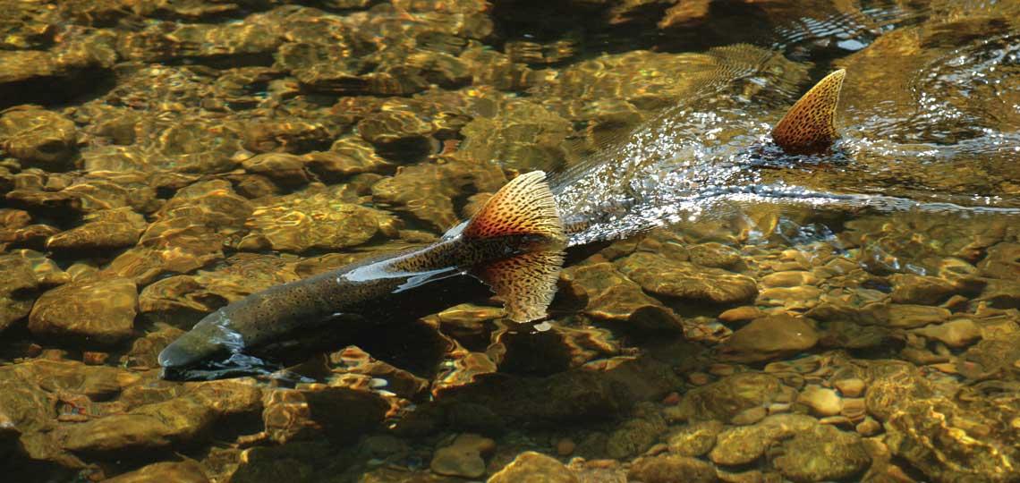 Chinook Salmon by Oregon State University