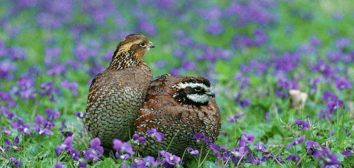 Northern bobwhite quail by Steve Maslowski USFWS