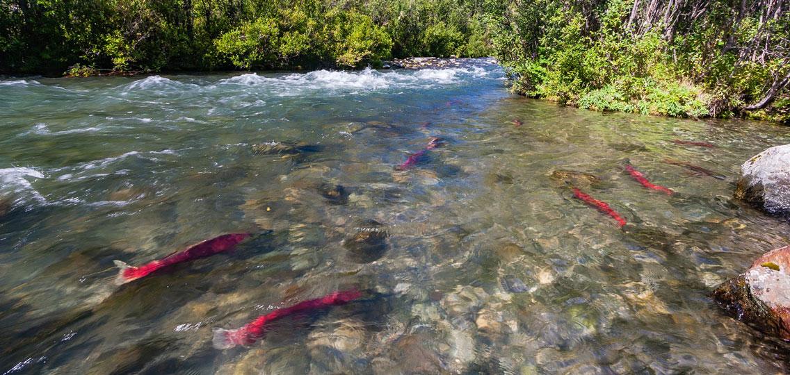 sockeye salmon in a river